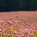 Photos: また見たくなる赤そばの花。