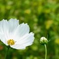 Photos: 真白き秋桜。
