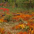 Photos: 湿原の草紅葉燃えそう。