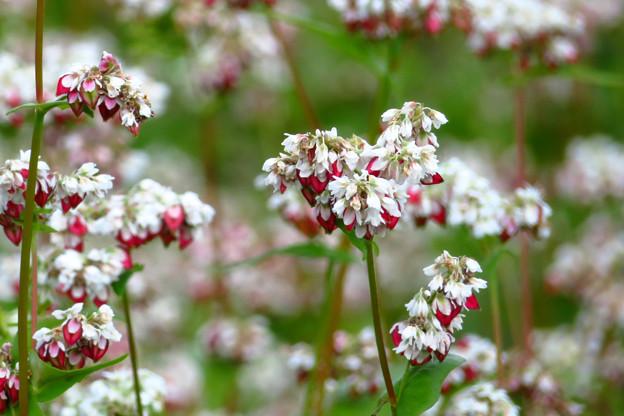 珍し、タチアカネそばの花。