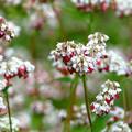 Photos: 珍し、タチアカネそばの花。