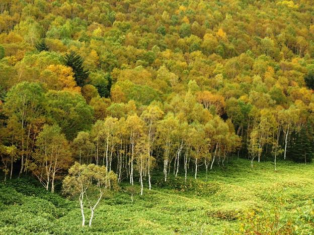 平床の白樺林色づく。