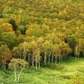 Photos: 平床の白樺林色づく。