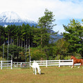Photos: 白馬と栗毛。