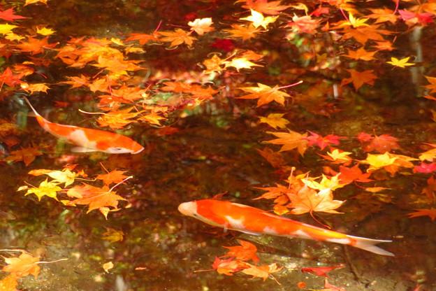 もみじの池のにひき鯉。