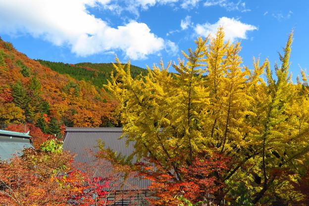 屋根よ~り高いよイチョウの木。