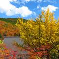 Photos: 屋根よ~り高いよイチョウの木。