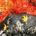 庭石にハラリ黄かえで。