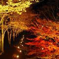 ライトアップのケヤキ並木。