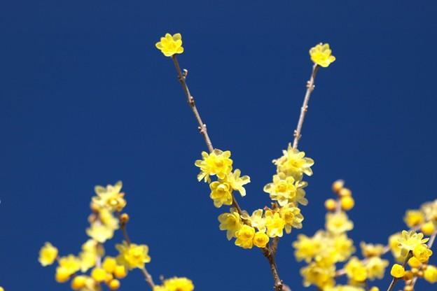 Vにろうばい咲く。