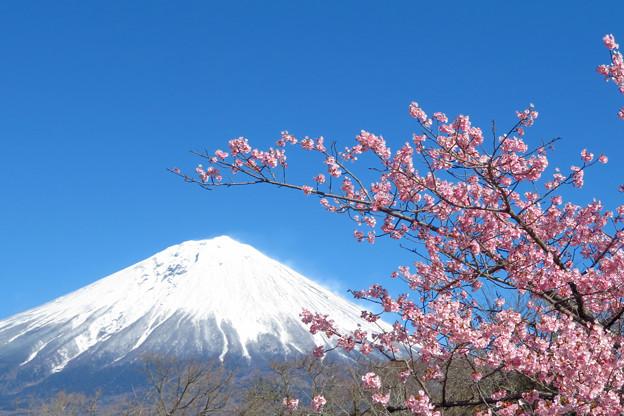 咲き始めるカンザクラ。