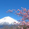 Photos: 咲き始めるカンザクラ。