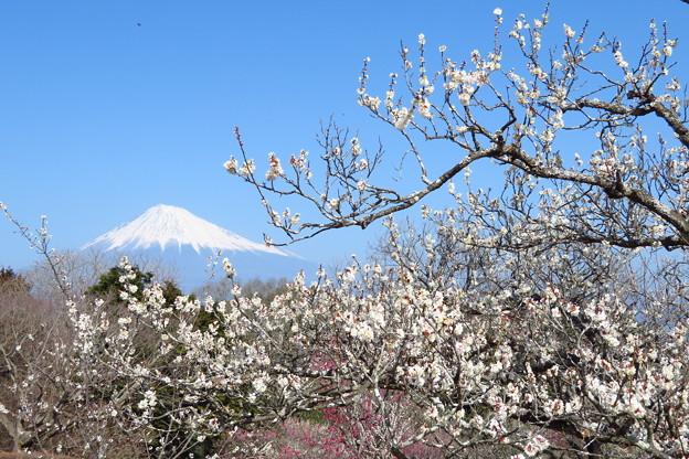 Photos: 横にも伸びる白梅。