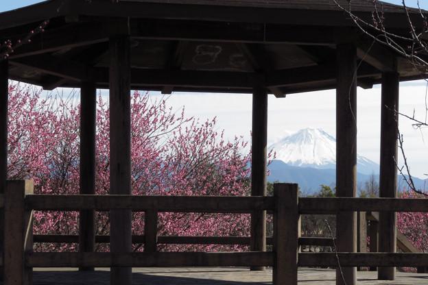 展望台東屋から紅梅を見る。