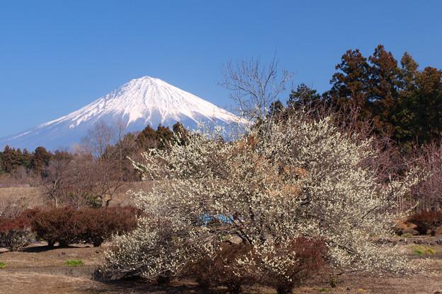 扇に咲く白梅の木。