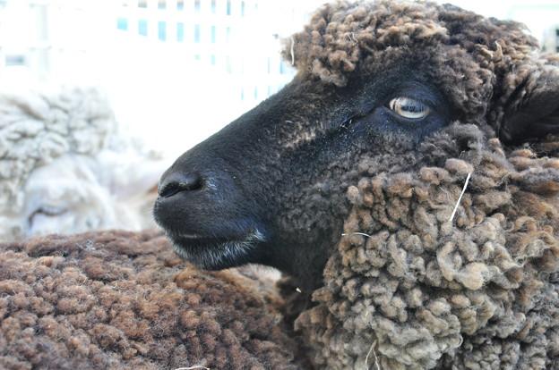 羊撮影@高田大介