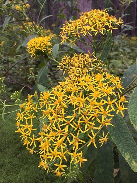 中島の黄色い花♪