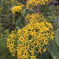写真: 中島の黄色い花♪