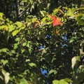 Photos: 紅い葉っぱミッケ~♪