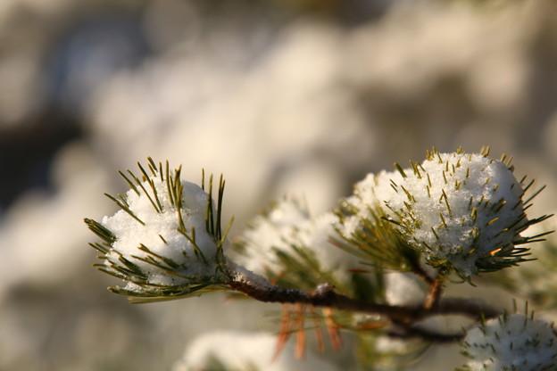 Photos: 松 雪