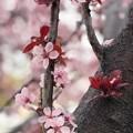 今日のFlowering Plum Tree♪
