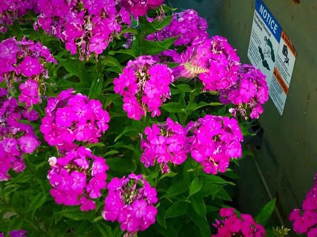 ピンクのお花とシマシマくん♪