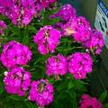 Photos: ピンクのお花とシマシマくん♪