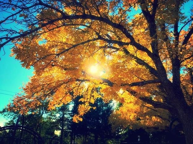 yellowwood tree