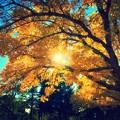 Photos: yellowwood tree