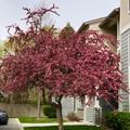 Photos: Redbud Treeかな…?