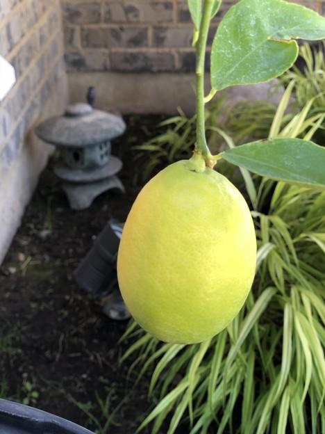 我が家のレモン♪