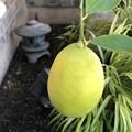 Photos: 我が家のレモン♪