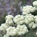 Sulfur Buckwheat