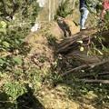 Photos: Cox邸の横の大木も根こそぎ。。