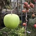 Photos: 青リンゴとクラブアップル