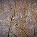 Photos: ふわふわの胸の羽♪
