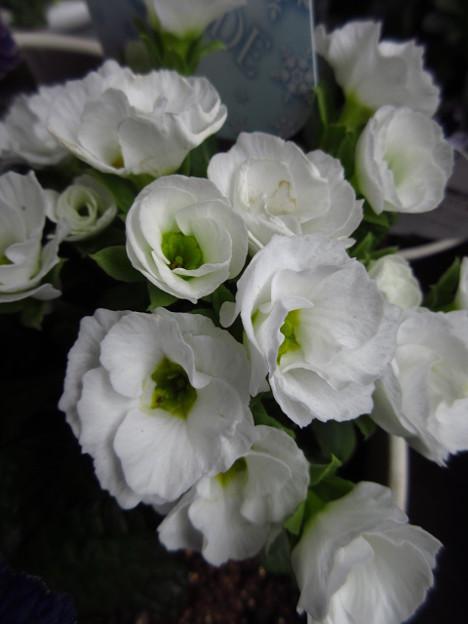 ゲレンデ(プリムラ)
