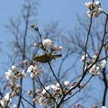 Photos: 在庫 メジロと桜