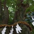 写真: 和合の木