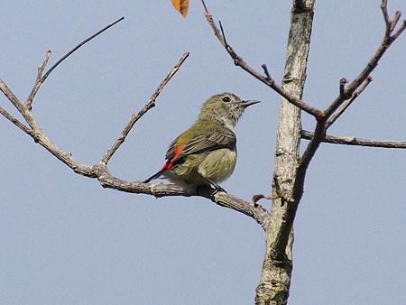 セアカハナドリ(Scarlet-backed Flowerpecker) IMGP48335_R
