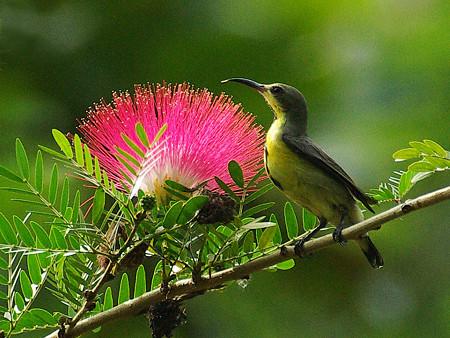 キバラタイヨウチョウ(Olive-backed Sunbird) IMGP49860_R