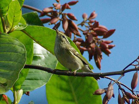 キマユムシクイ(Yellow-browed Warbler) IMGP50126_R