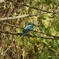 Photos: カワセミ(Common Kingfisher) IMGP55061_R2