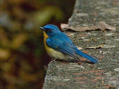 ミヤマヒメアオヒタキ(Hill Blue Flycatcher) IMGP101805_R