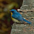 Photos: ミヤマヒメアオヒタキ(Hill Blue Flycatcher) IMGP101805_R