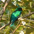 Photos: ミドリテリカッコー(Asian Emerald Cuckoo) IMGP102076_R