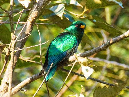 ミドリテリカッコー(Asian Emerald Cuckoo) IMGP102075_R