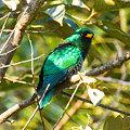 Photos: ミドリテリカッコー(Asian Emerald Cuckoo) IMGP102075_R