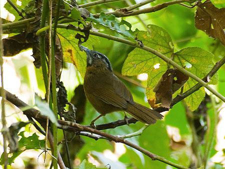 ハイノドモリチメドリ(Grey-throated Babbler) IMGP103210_R