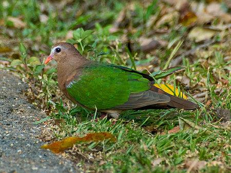 キンバト(Emerald Dove) IMGP103767_R